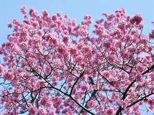 Visit the BBG to see the flowering cherry blossom trees.  The Cherry Blossom festival will be 4/28-4/29 this year!