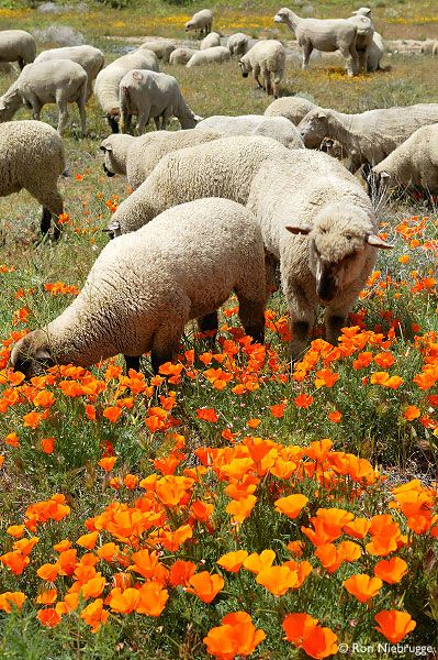 DOMESTIC SHEEP GRAZE IN A CALIFORNIA POPPY FIELD ~ Eschscholzia californica ~ Photo from Lancaster, California