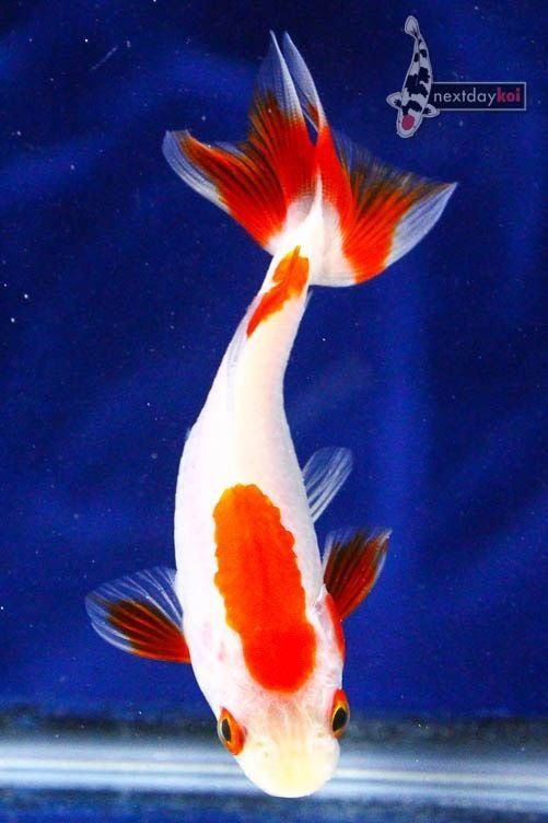 384 best images about goldfish on pinterest auction for Koi fry pool