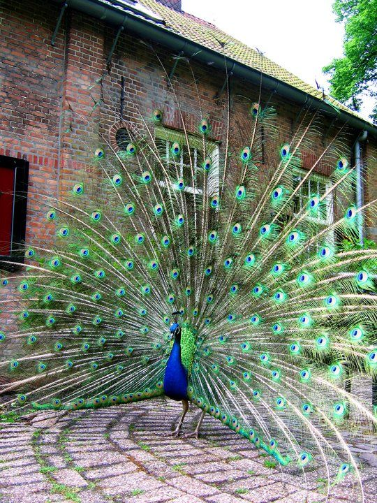 Why do peacocks show their feathers?