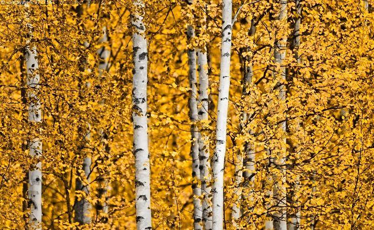 Keltaiset koivut - ruska syksy koivu lehdet keltainen väri vuodenaika värikylläisyys värikylläinen tiheä metsä