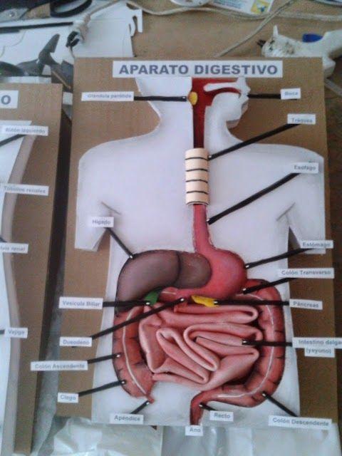 maquete do sistema digestorio com video