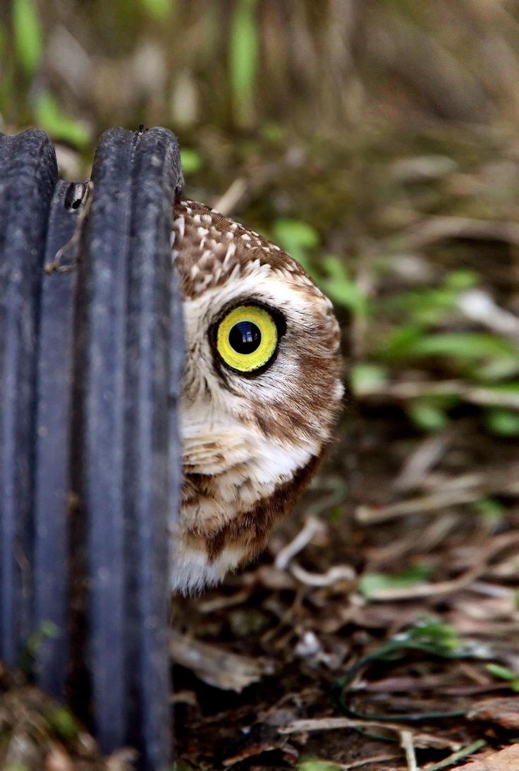 owl.                                                                                                                                                                                 More