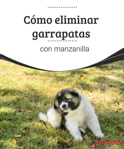 Cómo eliminar garrapatas con manzanilla  Los dueños de mascotas se encuentran a menudo con el problema de los parásitos. Aquí te explicamos cómo eliminar garrapatas con manzanilla.