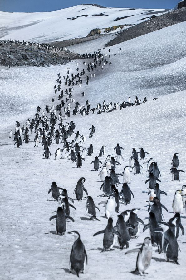 creatures-alive:  long long road by XINXIN CHEN   March of the penguin