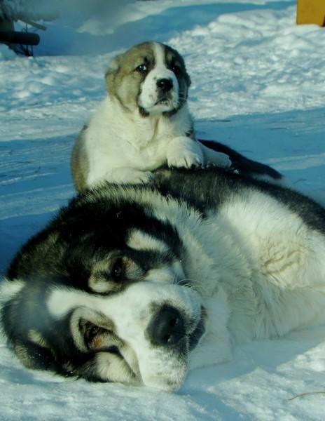Central Asian Ovcharka pup and parent!  #centralasianovcharka