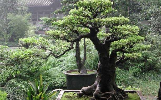 Μπονσάι: Η ιαπωνική τέχνη που μαγεύει
