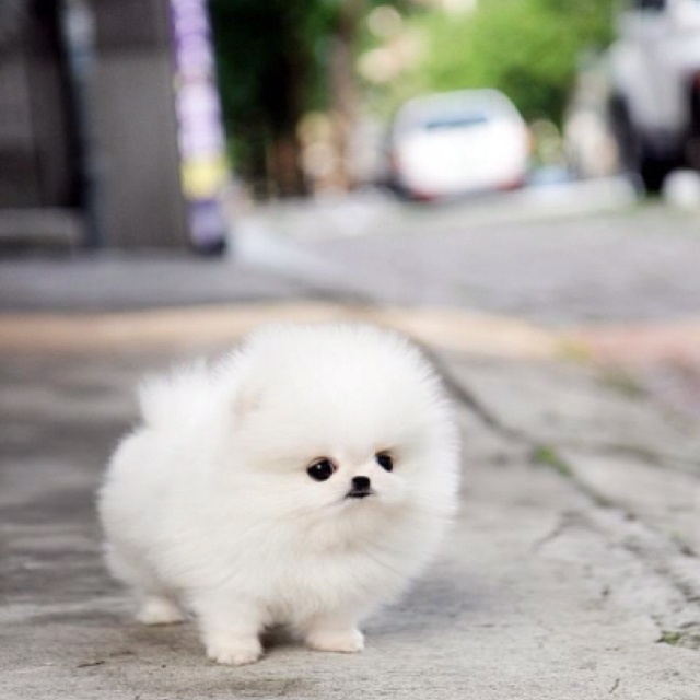baby pomeranian dog baby teacup pomeranian i really really want one lol 3123