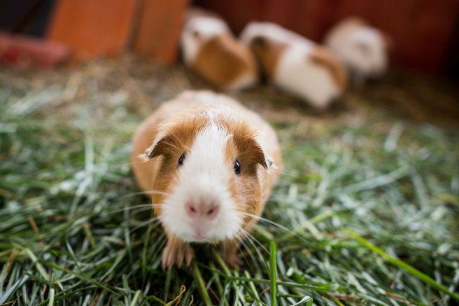 Porquinho-da-índia é uma boa alternativa de animal de estimação para crianças | Portal Animal - o canal de pets do Estadão