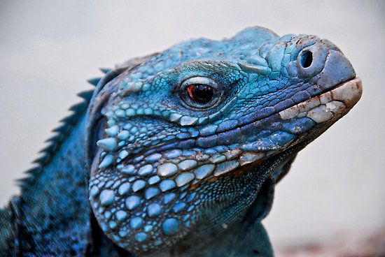 The Featured Creature: Located on the tiny island of Grand Cayman off the coast of Cuba are the last remaining Blue Iguanas (Cyclura lewisi). They're one of the longest living species of lizard with the record being set at 67 years. Unfortunately, there might not be many years left for this breathtakingly blue species unless conservation efforts are put to the forefront.