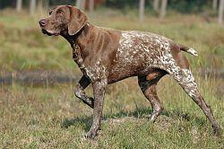 El Braco alemán de pelo corto (Deutscher Kurzhaariger Vorstehhund en alemán) es una raza de perro desarrollada en los años 1800 en Alemania para la caza.    Es un perro de caza polivalente, sin duda la raza más completa y eficiente para la caza, gracias a sus cualidades físicas y aptitudes innatas,