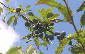 #SeasonalRecipes To pick or not to pick - just when is the right time to harvest sloes? #SloeGin