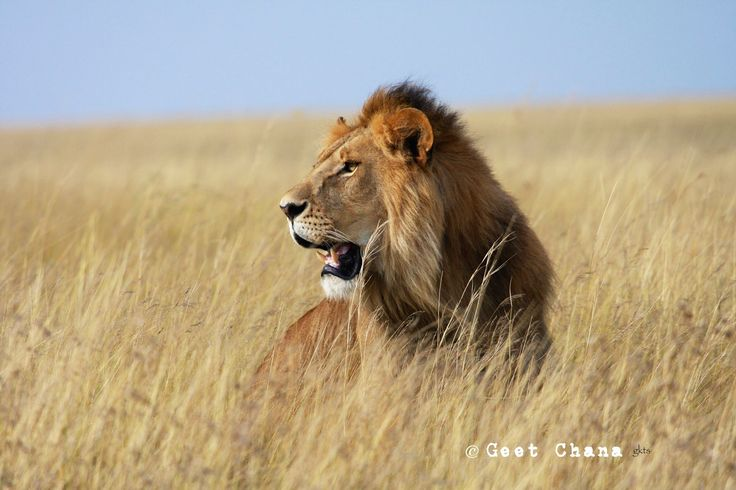 Lion in Maasai Mara