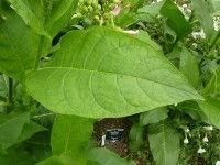 Cómo hacer un pesticida orgánico de tabaco    Leer más en: http://www.plantasparacurar.com/como-hacer-un-pesticida-organico-de-tabaco/