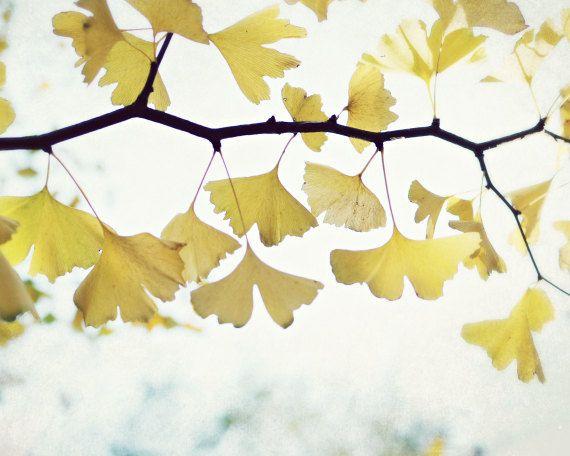 "Nature photography / Ginkgo tree leaves / white yellow gold / minimal nature wall art / fine art nature photography  ""Grateful"""
