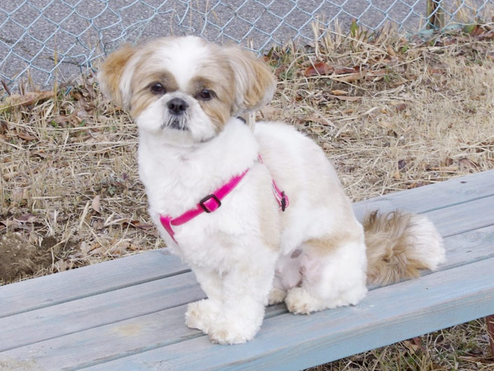 Shih tzu - This one's for you Kim....an Abby look a like! :)