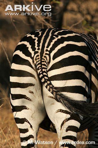 Plains zebra photo - Equus quagga