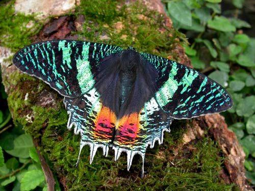 Sunset Moth (Chrysiridia rhipheus) Uzuri- Legendary - medium East African Sunset Moth (Chrysiridia croesus)