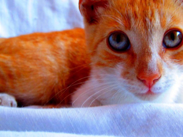 gato amarillo