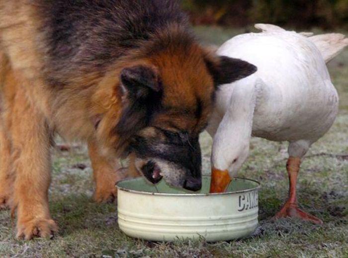 LIBERTAÇÃO ANIMAL: Um cão considerado extremamente feroz ia ser abatido, mas a sua vida foi poupada depois de se ter «apaixonado» por uma fêmea de ganso e de ter ficado dócil e meigo.
