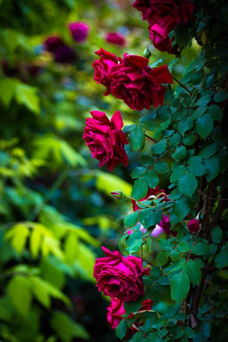 Wine colored roses rose bush | ~ Roses | Pinterest | Rose ...