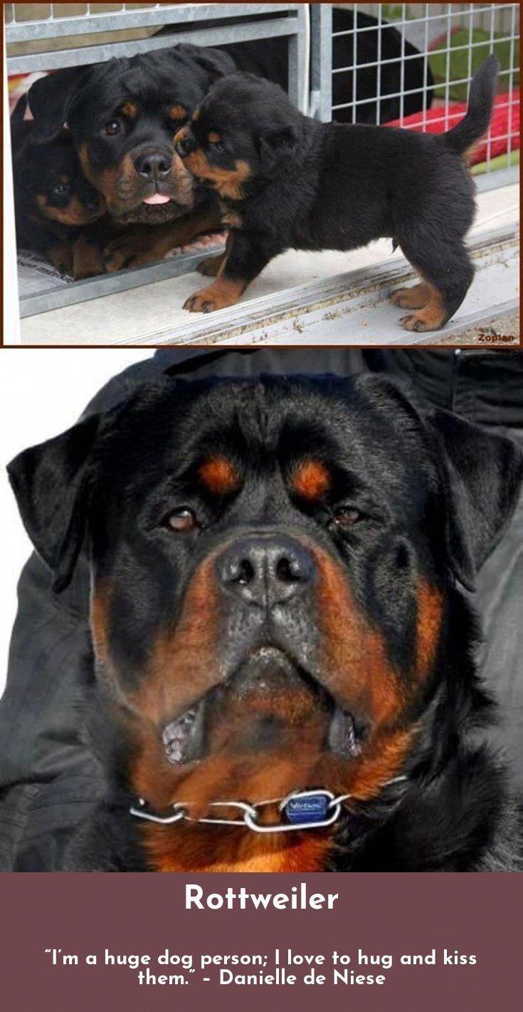 The Confident Rottweiler Size Rottweilercorner