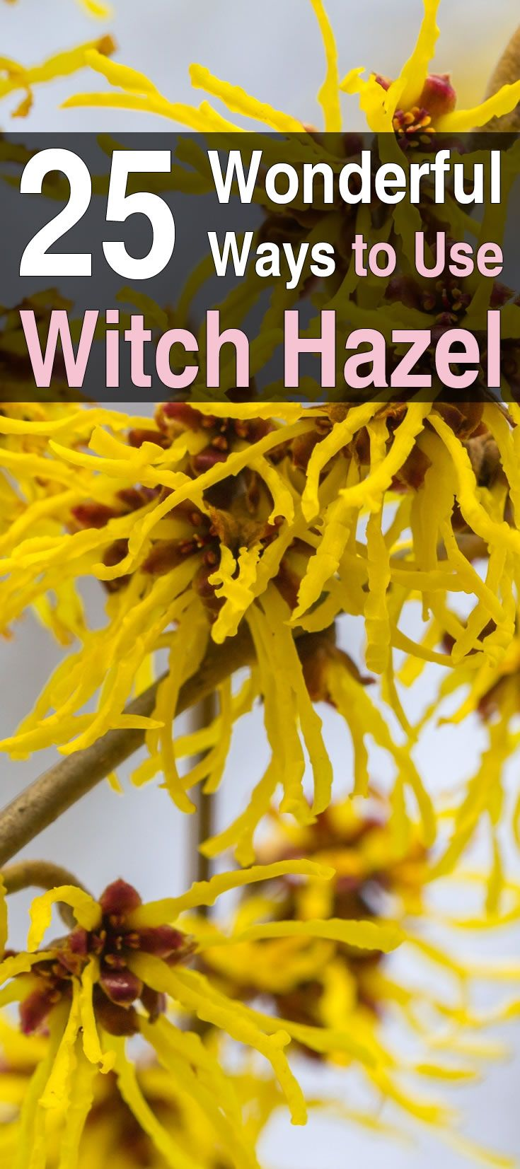 Once you realize how useful and beneficial witch hazel is, you will want to start keeping it on your shelf. Here are 25 wonderful ways to use it.