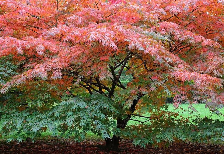 Image result for japanese maple