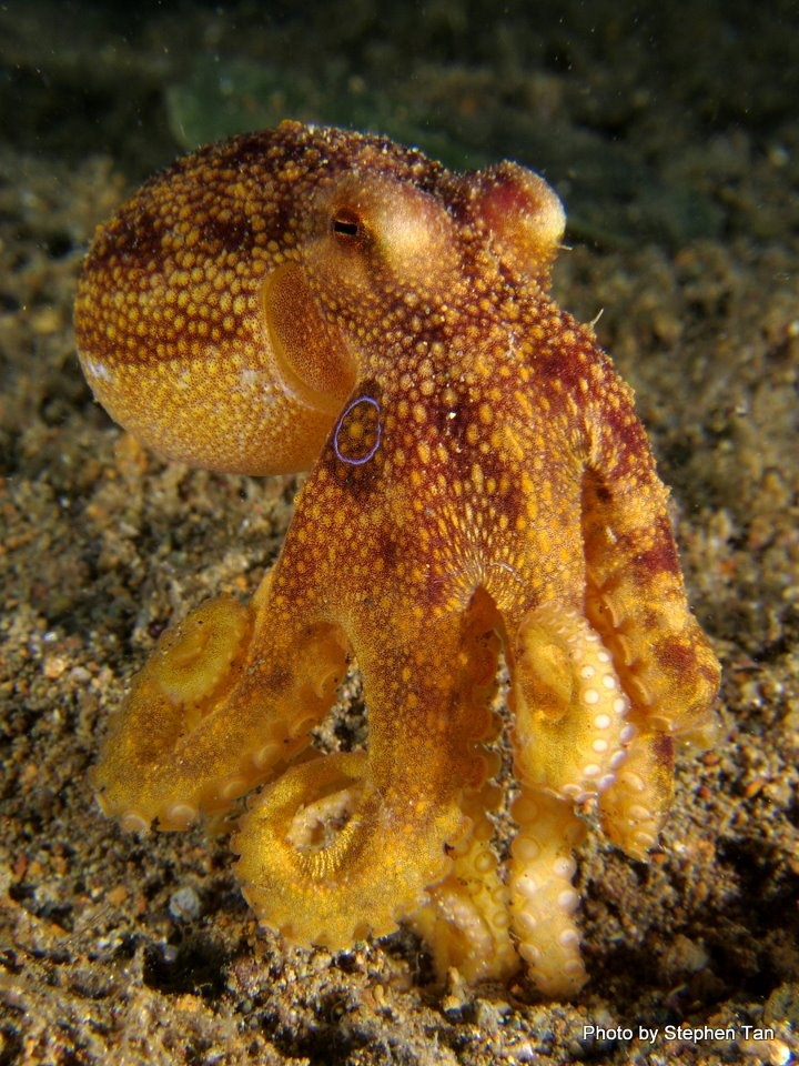 Blue-spotted octopus
