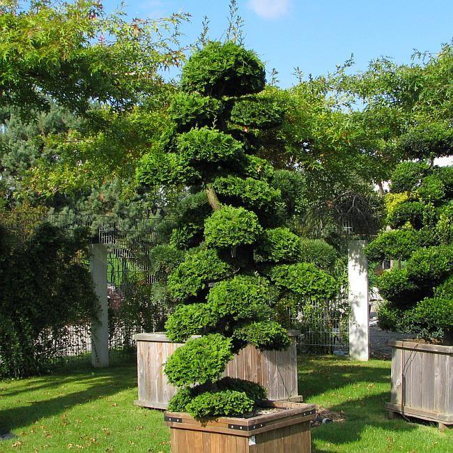 Chamaecyparis obtusa 'Nana Gracilis' ein über 2m hohes Exemplar (Muschelzypresse, Hinoki-Scheinzypresse)