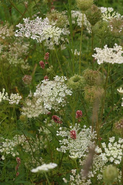 "Such a lovely photo.  Via   Queen Anne's Lace, also called ""Wild Carrot,"" is a common plant in dry fields, ditches, and open areas. It wa..."