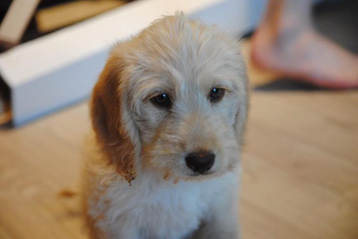 Maja, the Cockadoodle. Cutest puppy ever!
