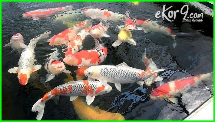 Ikan Koi, Penghias Kolam yang Membawa Keberuntungan