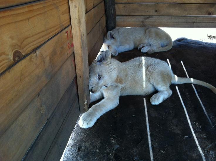 Lion sanctuary Johannesburg, South Africa 2011