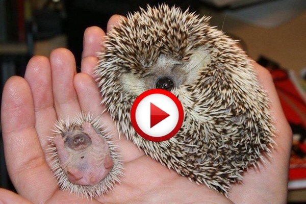 Stroke The Hedgehog! Video #animaks, #cute, #funny, #videos, https://facebook.com/apps/application.php?id=106186096099420