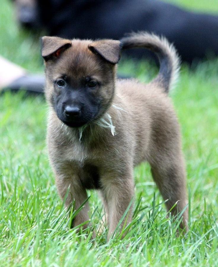 Malinois future protection or police dog