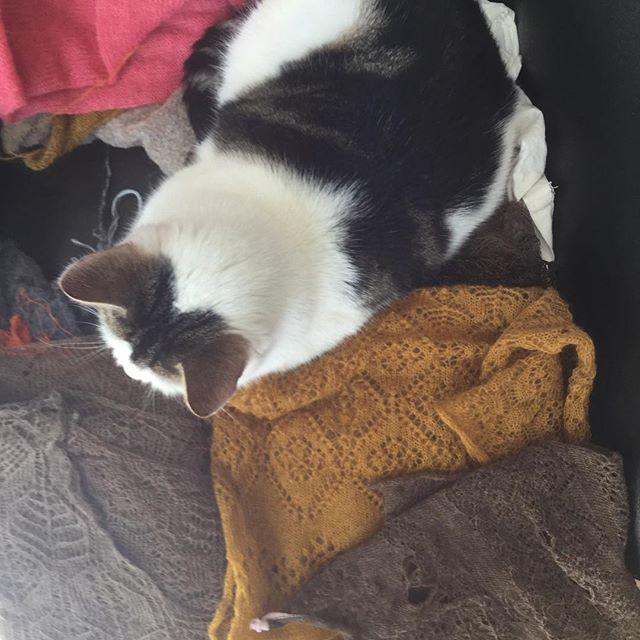 Alfie chubchub made a nest in my knitting #lacesamples #catsittinginknitting