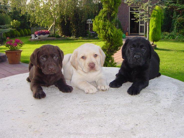 Labrador Retriever | Labrador Retriever - Razas perros | Mascotas.