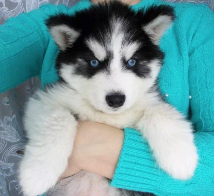 50 Male Siberian Husky Dog Names Siberianhusky Husky Dogs