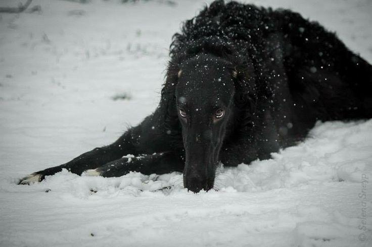 The self-black Borzoi looks ready to hunt