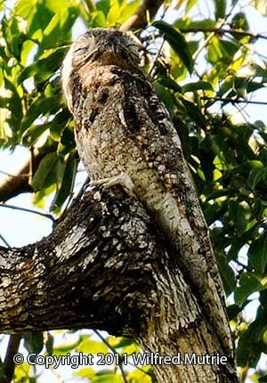 Tracking The Great Potoo Bird In Belize [click for article]
