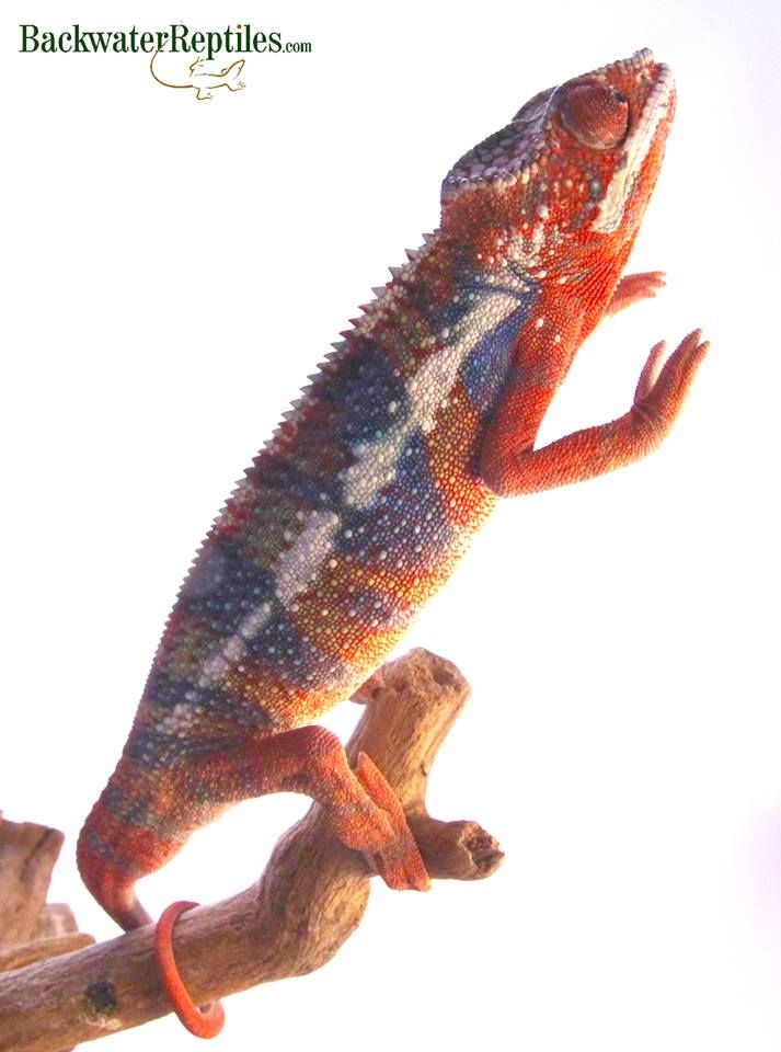 Here's a high red Ambilobe Panther chameleon (Furcifer pardalis), just waiting to be shipped to his new keeper. They make excellent pet lizards.