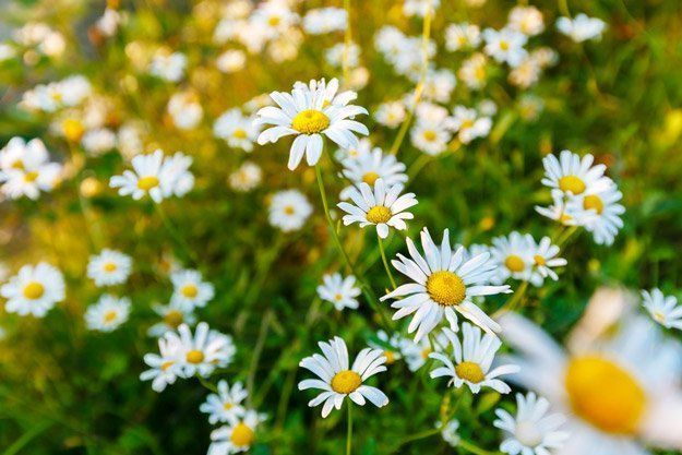Chamomile | Top 5 Medicinal Herbs To Grow At Home | Homesteading Tips