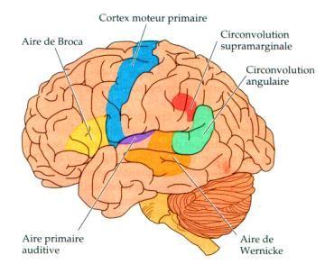 Résultats de recherche d'images pour «cerveau aire main gauche»