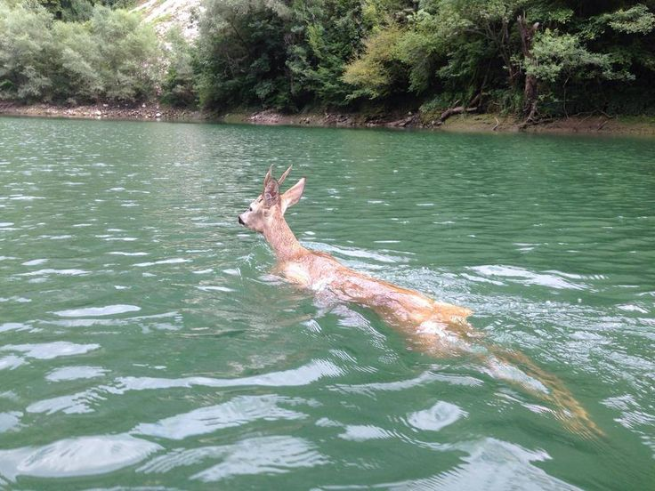 Deer Swimming In Matka Lake Skopje