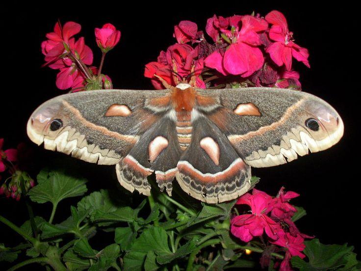 gros papillon de nuit Wallpaper