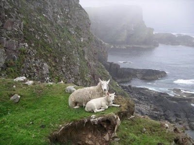 Sheep have lived on the Shetland Islands for well over 1,000 years, adapting to the harsh environment and thriving in the cold, wet climate. The sheep of Shetland were an important par of subsistence agriculture of the islands, and the rugged habitat and geographical isolation produced a breed that is distinct and significant. The Shetland breed likely descends from ancient Scandinavian sheep, and it is a member of the northern short tailed sheep breed family.