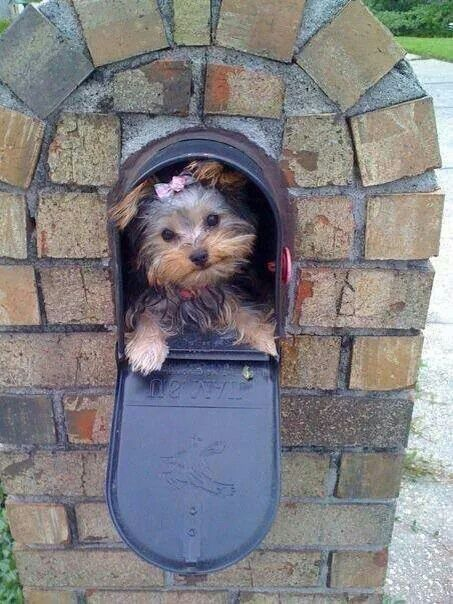 Cute Yorkie in a mail box!