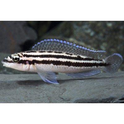 Julidochromis dickfeldi - small