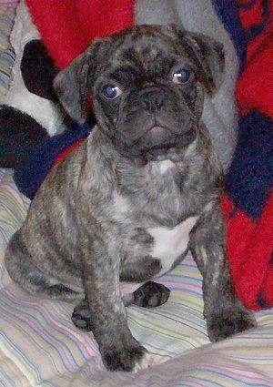 Frenchie Pug pup. Potential new addition (breed) in the next few months.